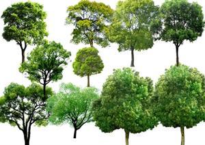 香樟树设计素材下载