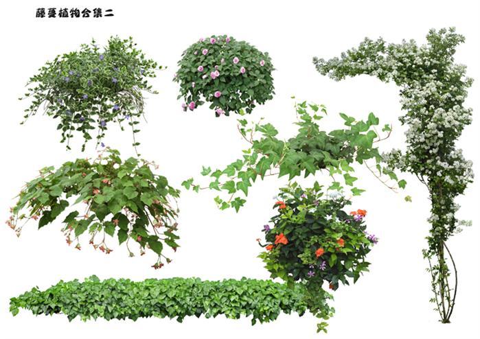 园林景观常用高清藤蔓植物素材,psd分图层处理,方便使用,同时存有jpg