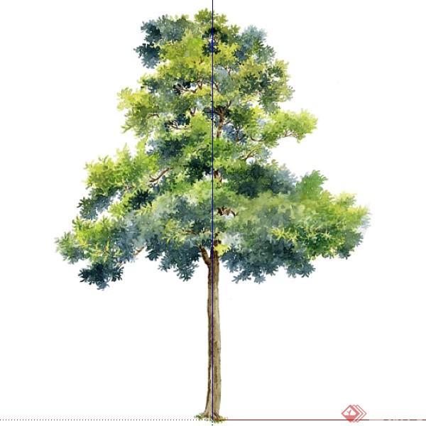 一棵大叶相思树的景观植物设计su模型