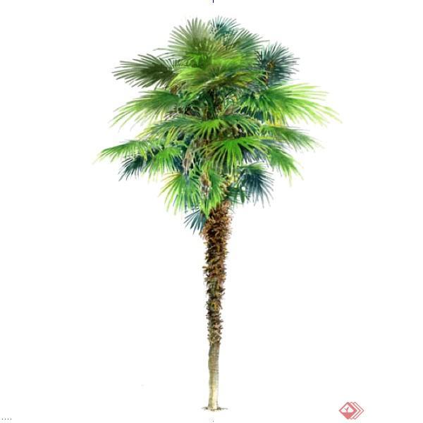 一棵棕榈树景观植物设计su模型