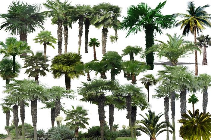 多款园林景观棕榈树psd素材[原创]