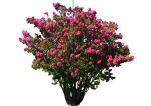 2D灌木花卉54SketchUp(SU(草图大师))模型