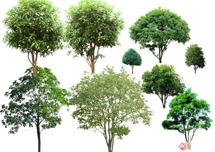 桂花樹植物psd素材